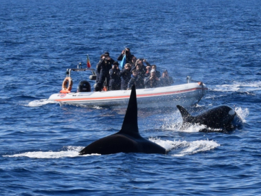 orcas açores azores killer whale