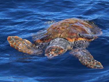 turtle pico