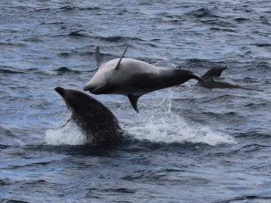 futurismo azores dolphins