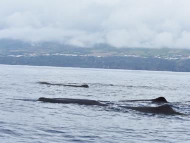 sperm whales acoustic