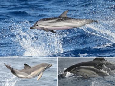 futurismo acores golfinhos