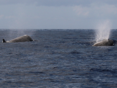 pico azores whales